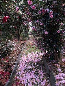 house camellias